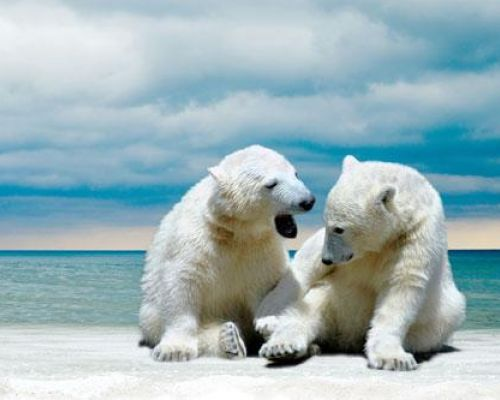 Program idea Alaska polar bears playing