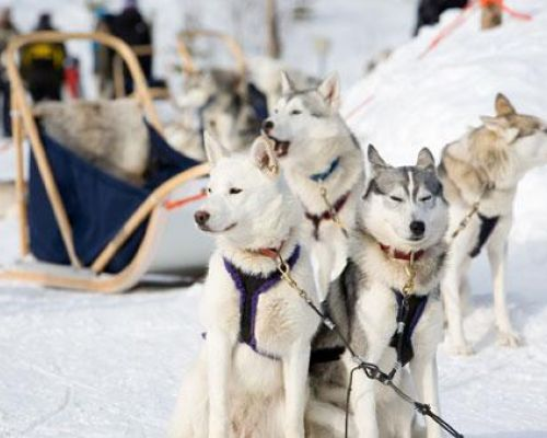 event dmc alaska sleigh huskies
